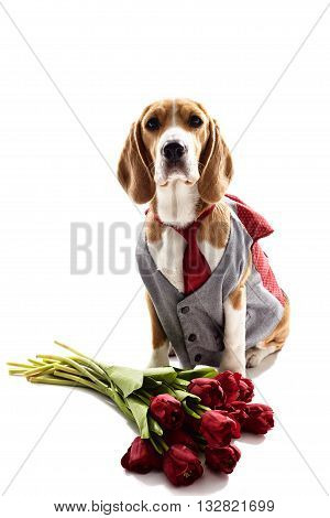 Cute beagle dog is sitting in formal suit near flowers. Isolated on background