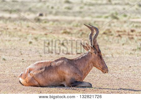 A Red Hartebeest Alcelaphus buselaphus caama laying down