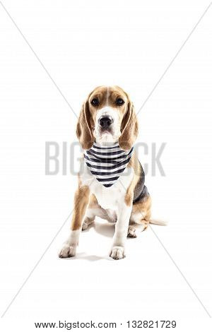 Cute beagle dog is sitting in sailor clothing. Isolated