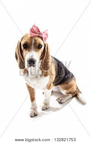 Pretty dog girl has a pink bow on her head. She is sitting. Isolated on background