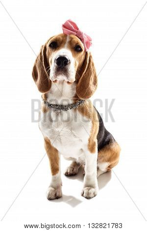 Glamour female beagle dog with pink bow on head and necklace. Isolated