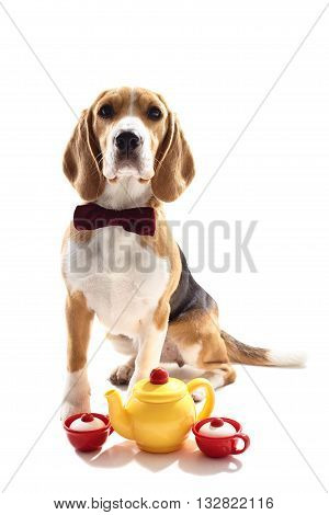 Help yourself with a cup of tea. Pretty beagle dog is sitting neat a tog kettle with two cups. He is wearing a bow tie. Isolated