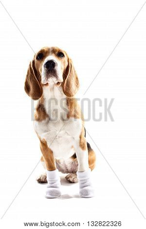 Cute puppy is sitting with white socks on his paws. Isolated