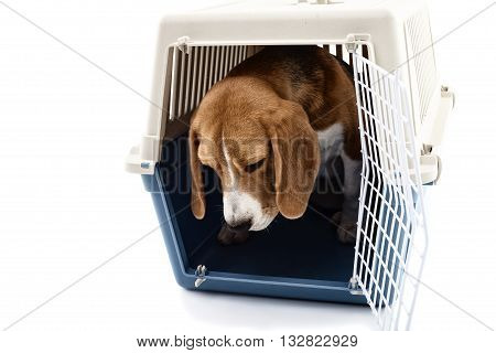 Cute beagle puppy is sitting in carrier box with sadness. Isolated on background