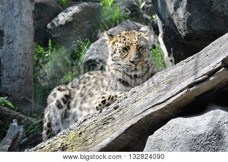 An Amur leopard resting on the tree