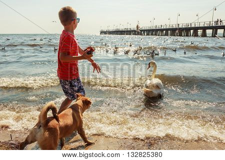 Care and safety of animals. Little boy kid feeding playing with beautiful swan. Child having fun with big white sea bird.