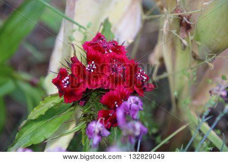 Sweet William's amazing flowers Dianthus barbatus in the garden