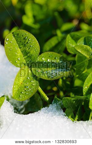 green clover leaves covered with ice at spring