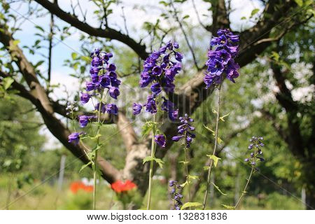 Delphinium with blue flowers in the summer garden