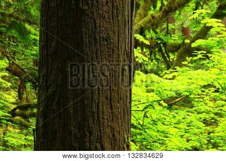 a picture of an exterior Pacific Northwest old growth Douglas fir tree in summer
