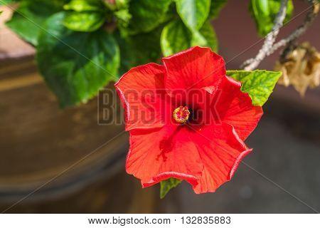 A Hibiscus flower hibiscus rosa sinensis in garden