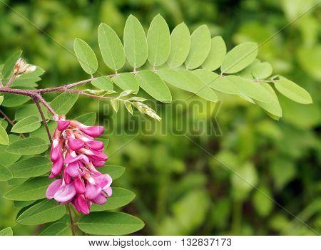 Pink flowers acacia (acacia branch flowering clusters).