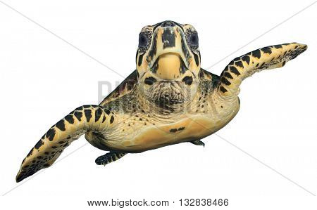 Sea Turtle isolated on white background (Hawksbill Turtle - Eretmochelys imbricata)