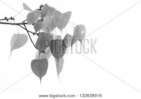 Bothi leaf or pho leaves or bo leaf monochrome