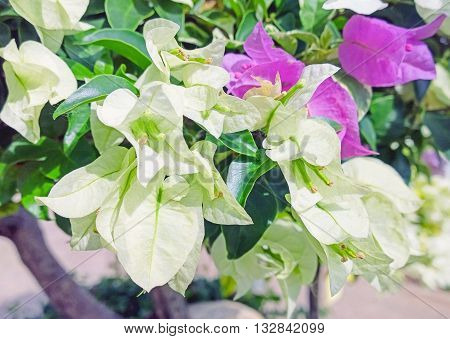 Close up of white bougainvillea flowering in spring