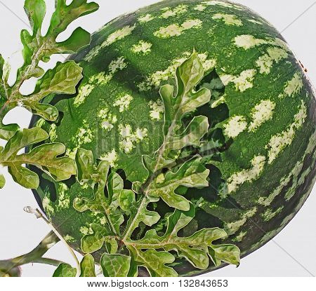 WATERMELON Seele grow on the ground garden and vegetable crops sunny