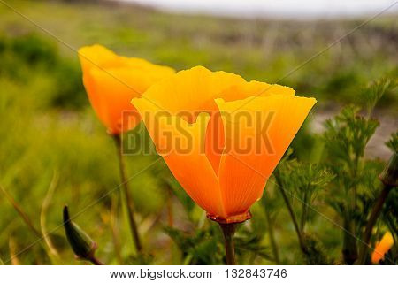 California Poppies (Eschscholzia californica) in the early morning with dew dripping off of the petals.