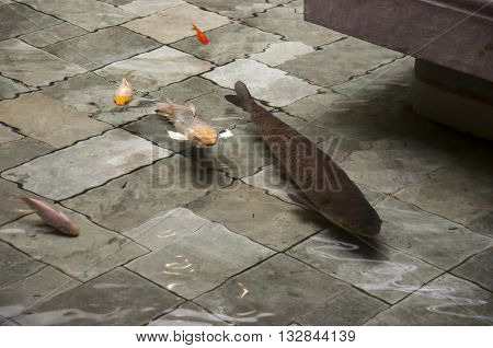 Koi carp goldfish swimming in decorative gray green slate tile bottom pool