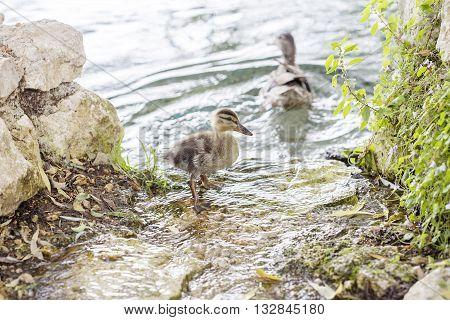 Pair Of Ducklings On The Water Edge