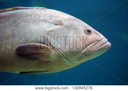 Closeup Of A Grouper Fish
