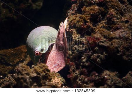 Sea Snail Moving On A Rock