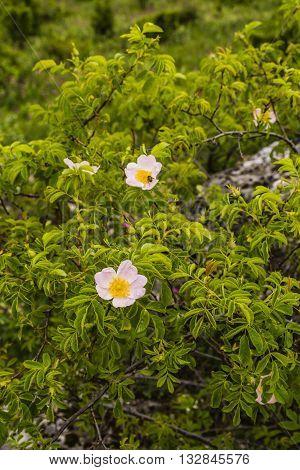 Flower Of Wild Rose.