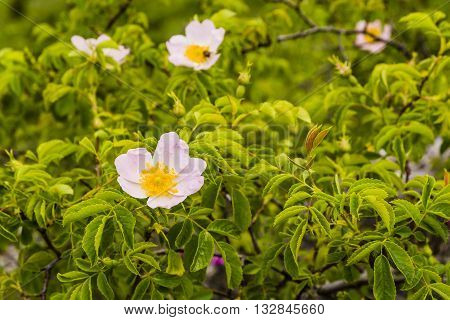 Beautiful Flower Of Dog-rose (rosa Canina L.).