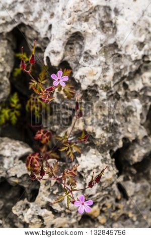 Geranium Robertianum (robertiella Robertiana).
