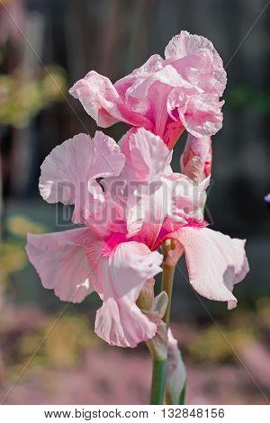 Iris flower in the flower bed perennials spring or summer flower soft focus