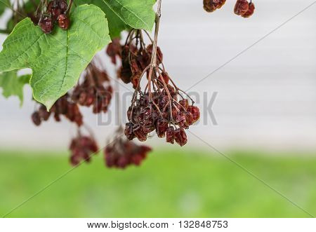 dried berries on a tree on a grass background