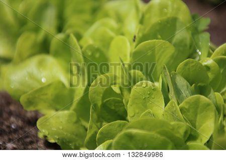 Green salad leaves in a kitchen garden