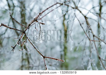 a lot of frozen twigs in the forest