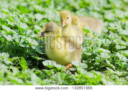 Several goslings of domestic gray geese among tall grass