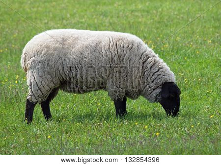 Exterior of suffolk sheep grazing on a green meadow