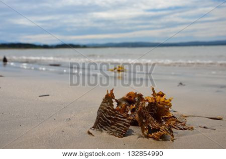 Seaweed on the beach in Batemans Bay, NSW Australia