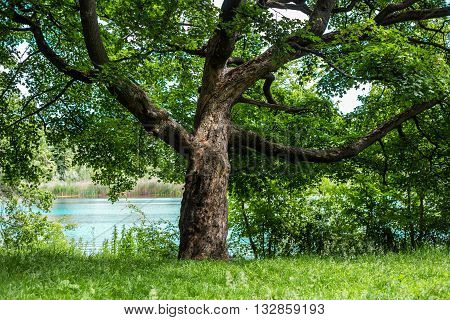 old beautiful tree on the background of the river nature background.