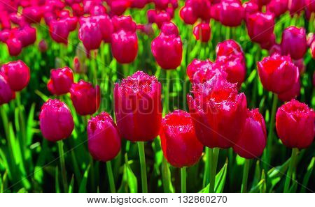 Closeup of bright red parrot tulips in early morning sunlight in the field of specialized Dutch tulip grower. It's really spring now.