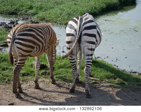 Two Zebras feeding on the grass. Zebra spectacular nature has created. a somewhat abstract pattern.