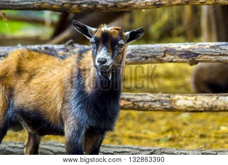 goat. pet goat. animal goat. Goat on the farm. Young horned goat