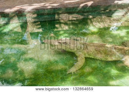 Albino Crocodile sleeping in water at zoo. Albino,Crocodile