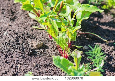Young beet grows on a bed in kitchen-garden