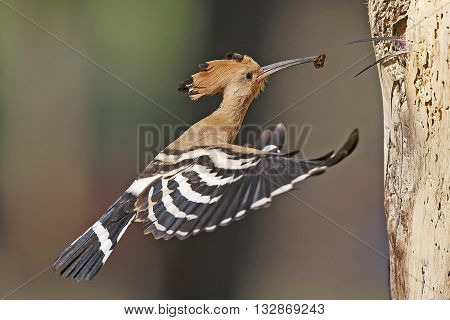 hoopoe bird feeds its Chicks a tasty lunch