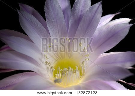 echinopsis eyriesii flower blooming succulent plant on black background