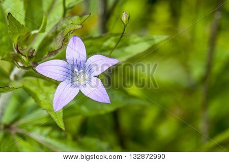 a spreading bellflower bloom in natural green ambiance