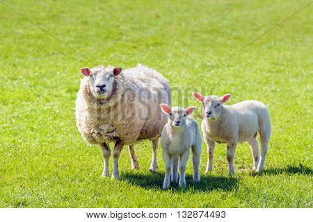 Proud looking mother with a thick winter fur presents her soft and tender looking newborn lambs standing on fresh green grass on a sunny day at the beginning of spring season.