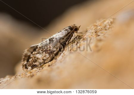 Cork moth (Nemapogon cloacella). A small moth associated with bracket fungi in the family Tineidae