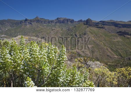 Flora of Gran Canaria - white flowers of Echium decaisnei Roque Nublo and Roque Bentayga in the background