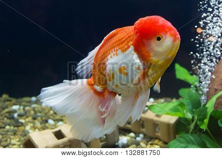 Goldfish in aquarium with green plants background