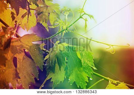 vineyard grape leaves and vines at sunset color gradient rainbow very soft focus