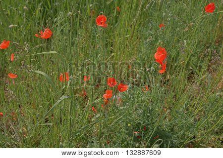 Red poppy flowers (Papaver rhoeas) in the field